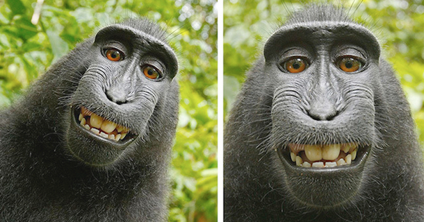 This Monkey Stole A Camera, Snapped A Selfie And Sparked A Controversy